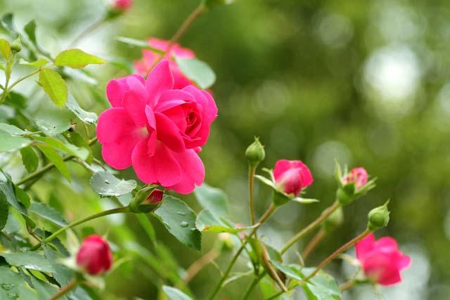 http://hanakotoba-labo.com/img/flower/bara.jpg