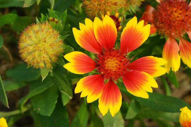 ガイラルディアの花画像