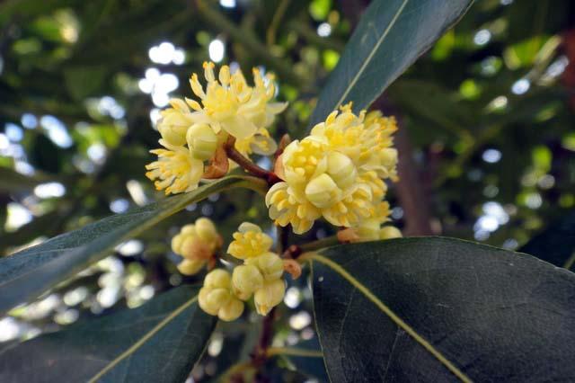 月桂樹(ゲッケイジュ)の花画像