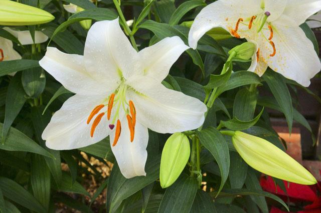 カサブランカの花画像