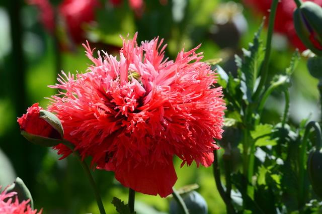 の 花 ケシ