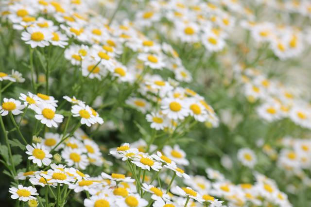 マトリカリアの花画像