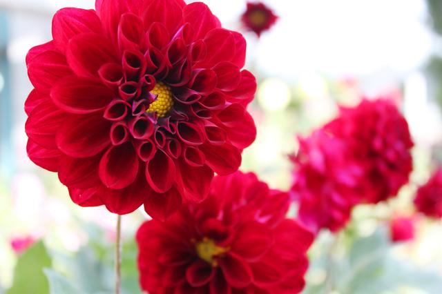 ポンポンダリアの花画像