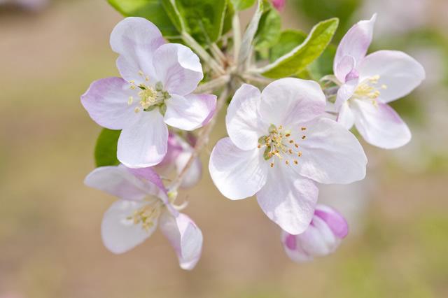 リンゴの画像 p1_24