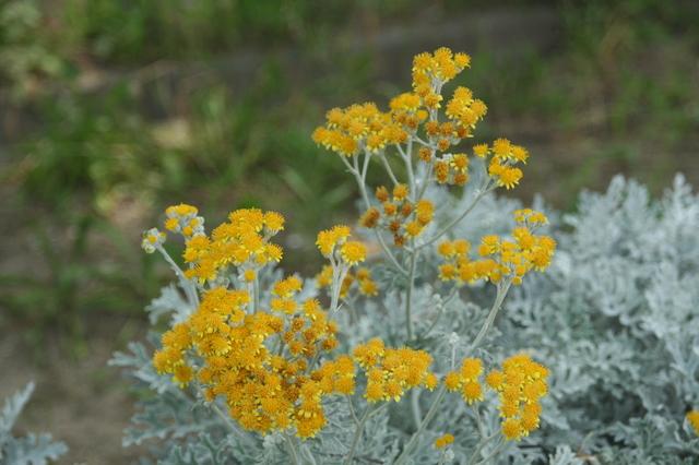 シロタエギクの花画像