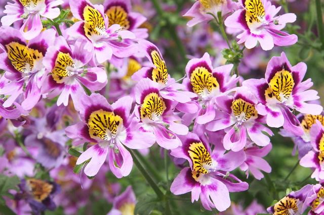 シザンサスの花画像