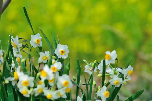 水仙(スイセン)の花画像