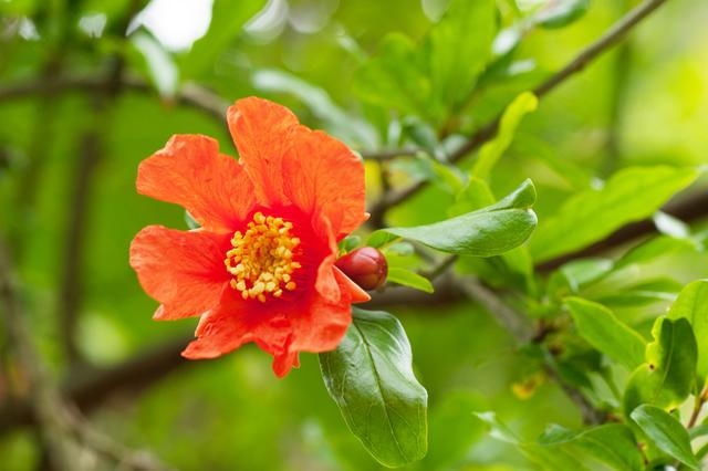 ザクロの花画像 ザクロ 花言葉-花言葉ラボ ザクロ 花言葉 MENU 花言葉辞典 逆引き花言葉